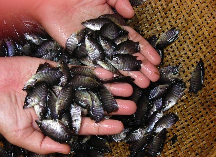 benih ikan gurame agar cepat besar