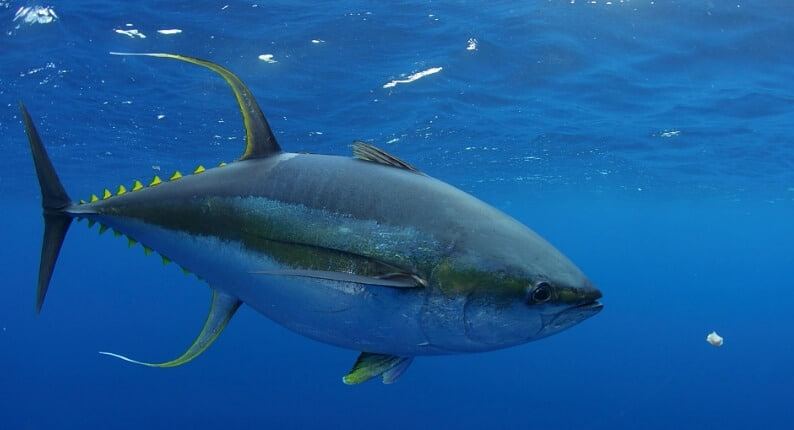 ikan tuna sirip kuning yellowfin