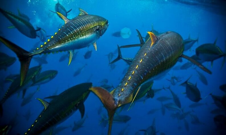 jenis ikan tuna indonesia