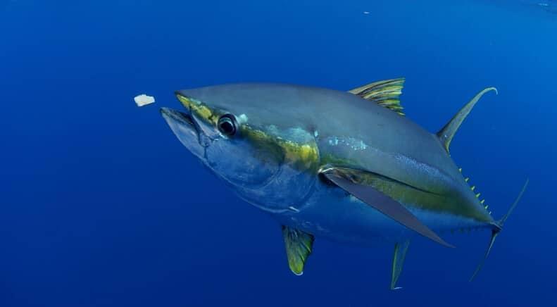 karakteristik ikan tuna sirip kuning