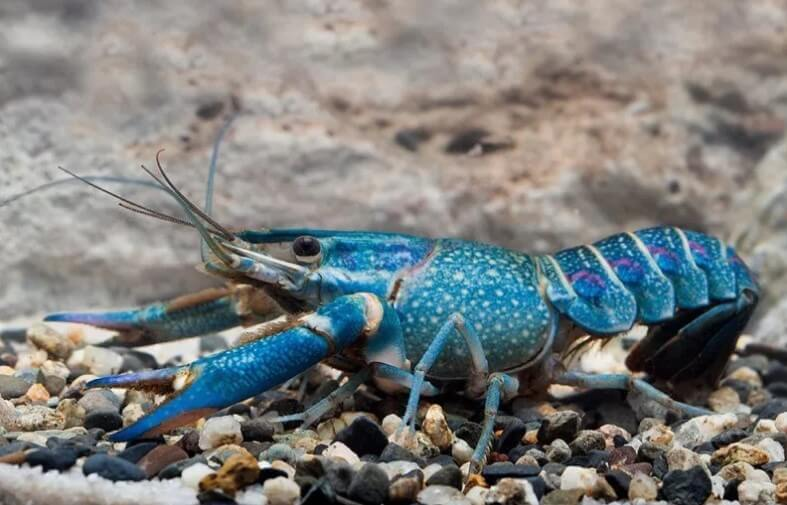 lobster biru air tawar